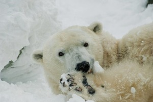 37-летие белой медведицы трогательно отпраздновали в зоопарке