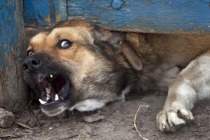 Покусав скажений собака: в Миколаєві зростає кількість постраждалих