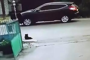 Ждет жестокая месть: в Житомире открыта охота на водителя Nissan, убившего бездомную собаку (18+)