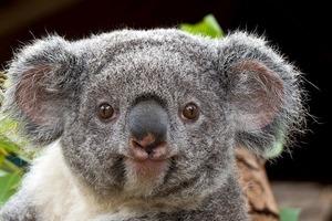 Две коалы устроили драку посреди шоссе в Австралии