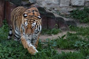 По улицам Парижа прогуливается тигр, сбежавший из цирка