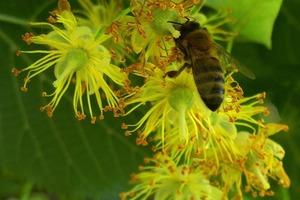Чим так корисний липовий мед