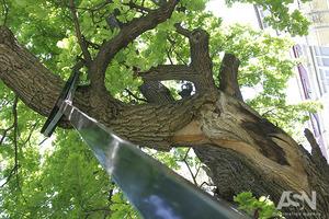 300-летний дуб полечили и надежно подперли киевские экологи