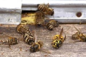 Пасечники Черкащины заявляют, что пестициды убили большинство пчел