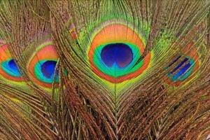 Правда ли, что павлиньи перья приносят неудачу