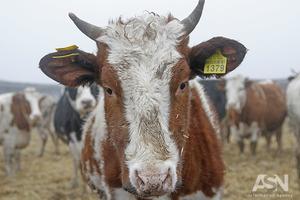 Молоко у крестьян принимают еще  дешевле, нежели до спасения села Гройсманом