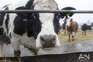 Українські молокозаводи змовилися і обвалюють закупівельні ціни на молоко