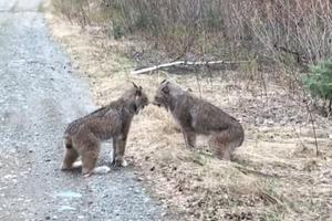 Кошачью мать!: Две рыси, устроившие разборки на дороге, стали звездами Сети