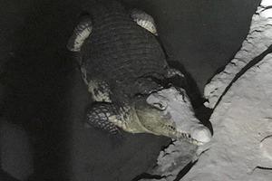 В Петербурге крокодил охранял подвал с оружием