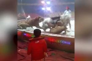 Львица и тигр в цирке набросились на лошадь, появилось жуткое видео