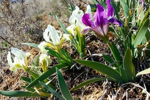 В Одесской области расцвели дикие ирисы
