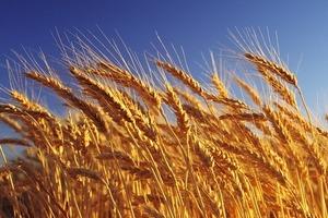 Урожай подпортили дожди: к марту в Украине не останется муки