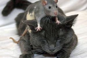 Проворная крыса, ускользнувшая от кошки, стала звездой Сети