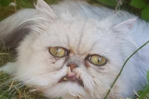Кот с человеческими глазами и зубами вампира пугает и очаровывает