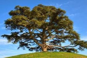 Японцы начали добывать алкоголь из деревьев