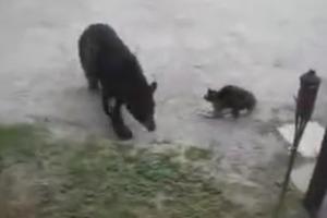 Отважный кот отогнал медведя, защищая свой дом