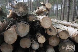 Минэкологии разрешило вырубить столетние дубы на Одещине: уничтожение начнут в июне