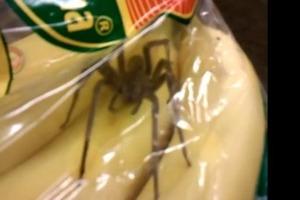 В бананах обнаружены смертельно опасные пауки