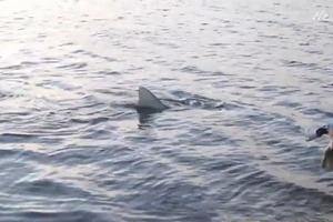 Тупорылая беременная акула попалась на крючок рыбаков