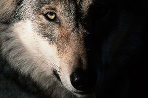 Ястреб или волк? Тотемное животное по знаку Зодиака