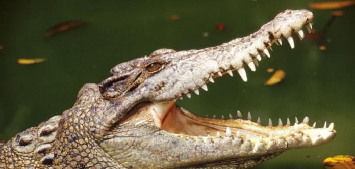 Мэр мексиканского города взял в супруги еще одного крокодила
