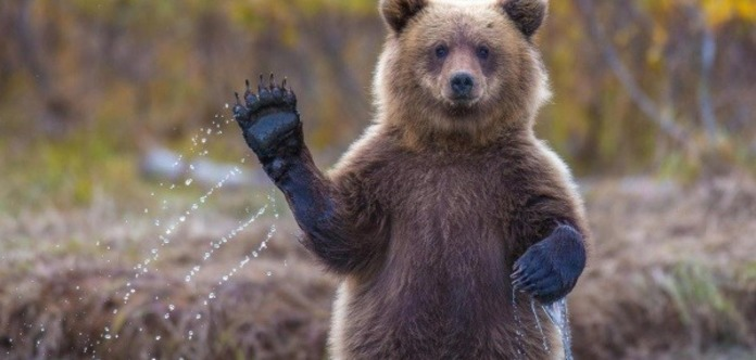 Бурий ведмідь напав наглядачів цирку під Києвом