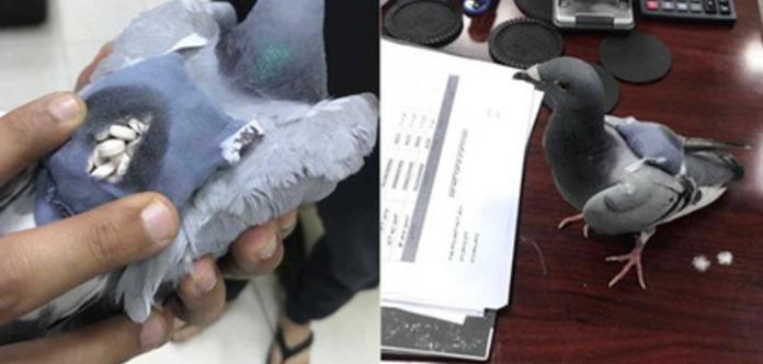 У Кувейті впіймали голуба з повним рюкзаком наркотиків