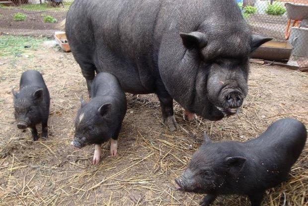 Вгосударстве Украина вьетнамские свиньи разорвали своего пожилого владельца