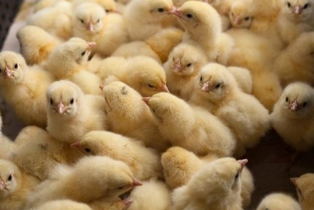 На Дніпропетровщині на птахофабриці задихнулося 250 тонн курчат