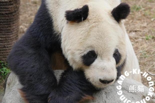 В КНР скончался самый старый в мире самец панды