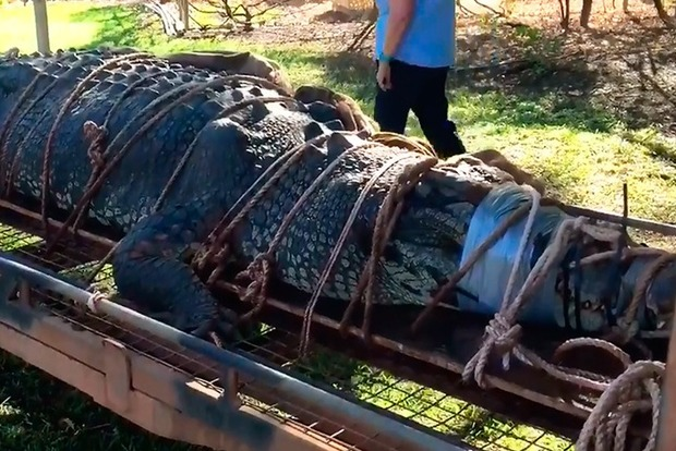 В Австралии на подходах к городу пойман крокодил-гигант
