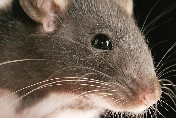 Задавили двоих людей: Крыса вызвала панику в переполненном поезде метро