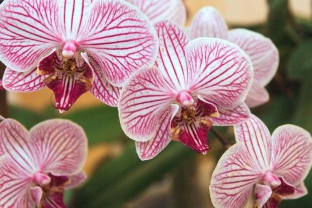 Чому не варто тримати орхідею вдома