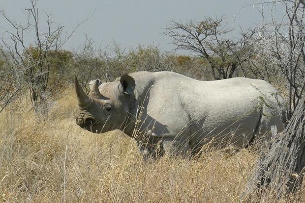 Носорог напал на охотившихся на него браконьеров