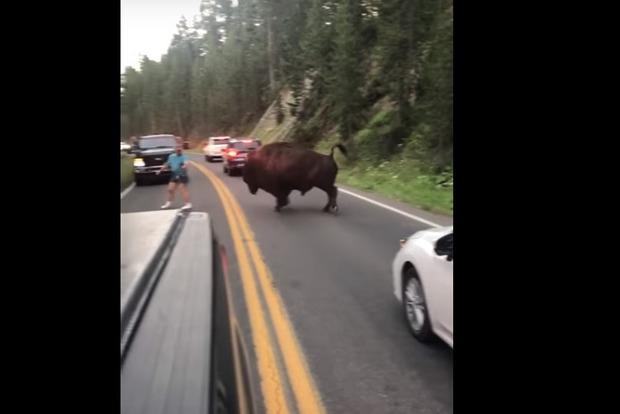 У США ідіот влаштував на дорозі кориду з диким бізоном (відео)