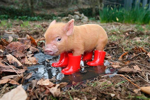 Ученые изменили ДНК свиньи. Возможно проблема донорства скоро будет решена
