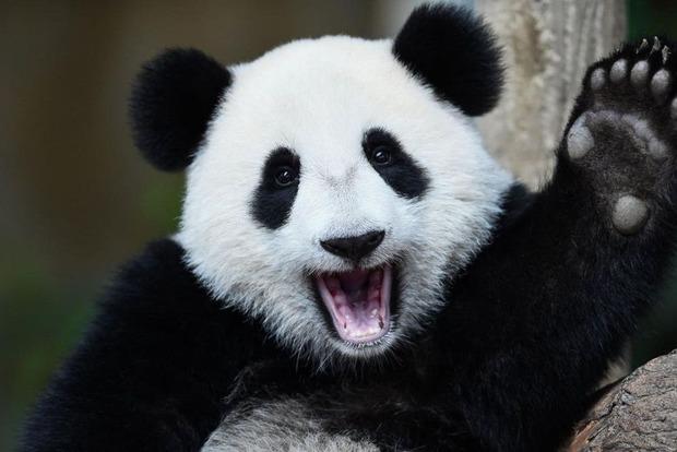 Ученые выяснили, откуда произошли панды