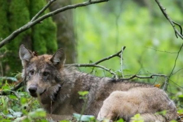 Лесники-идиоты убили в Украине уникального волка, который питался ягодами и фруктами