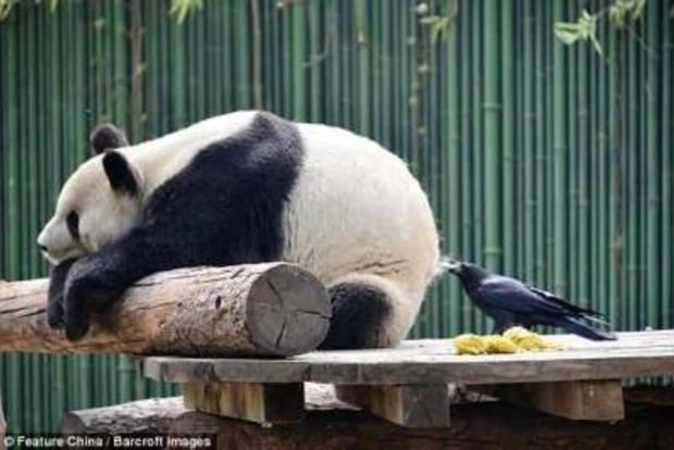 Забавное фото: Наглый ворон подстриг зазевавшуюся панду