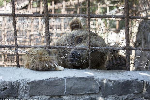 Шок! В армянском ресторане посетители наслаждаются, наблюдая за голодающими медведями