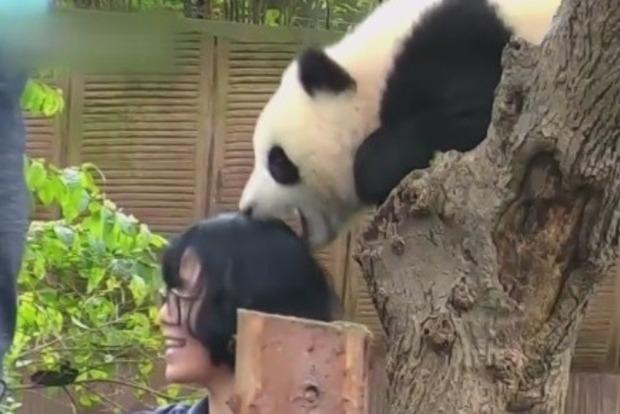 В китайском зоопарке маленькая панда укусила девушку за голову