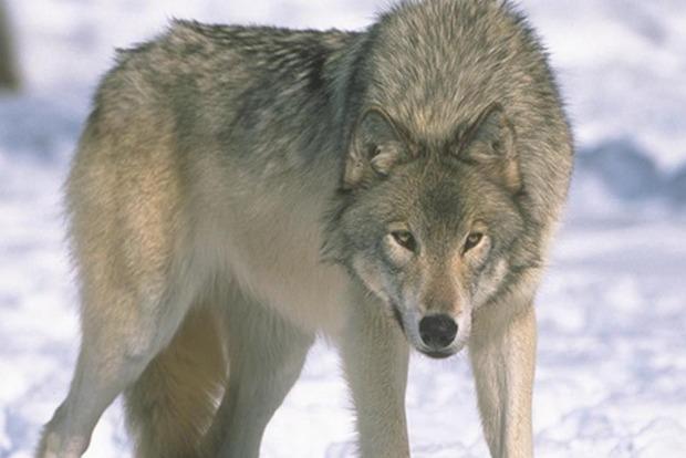 Под Бердянском волк покусал людей, мошенники наживаются на пострадавших