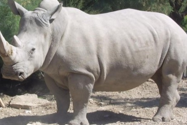В США умер северный белый носорог, теперь в мире их осталось всего три