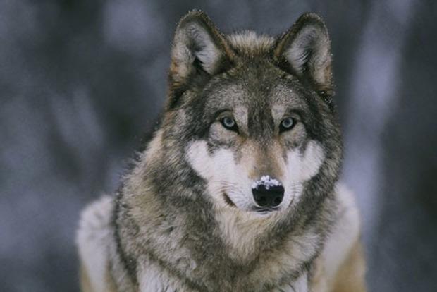 Растерзал бедро. Волк напал на женщину в Тернопольской области