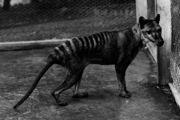 В Австралии замечено давно вымершее животное