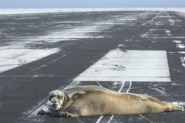 Огромный тюлень заблокировал взлетную полосу на Аляске