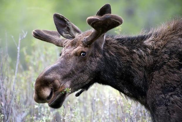 В правительстве считают, что популяция лося европейского не пострадает из-за разрешения охоты