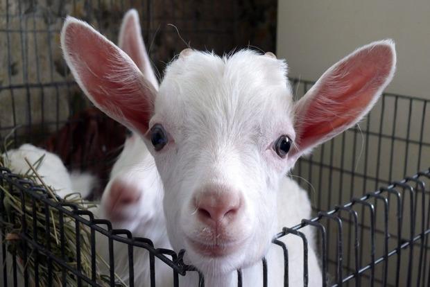 В Киеве на улицу выбросили маленькую козу