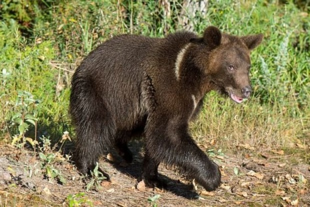 Медведица разодрала мужчине голову и живот, но он смог сам привезти себя в больницу