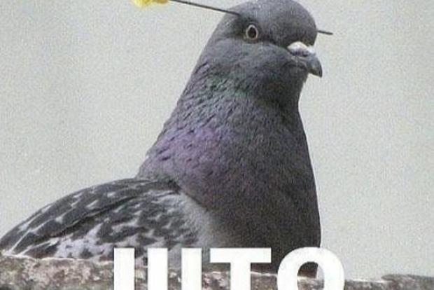 Голуби соображают быстрее людей – ученые